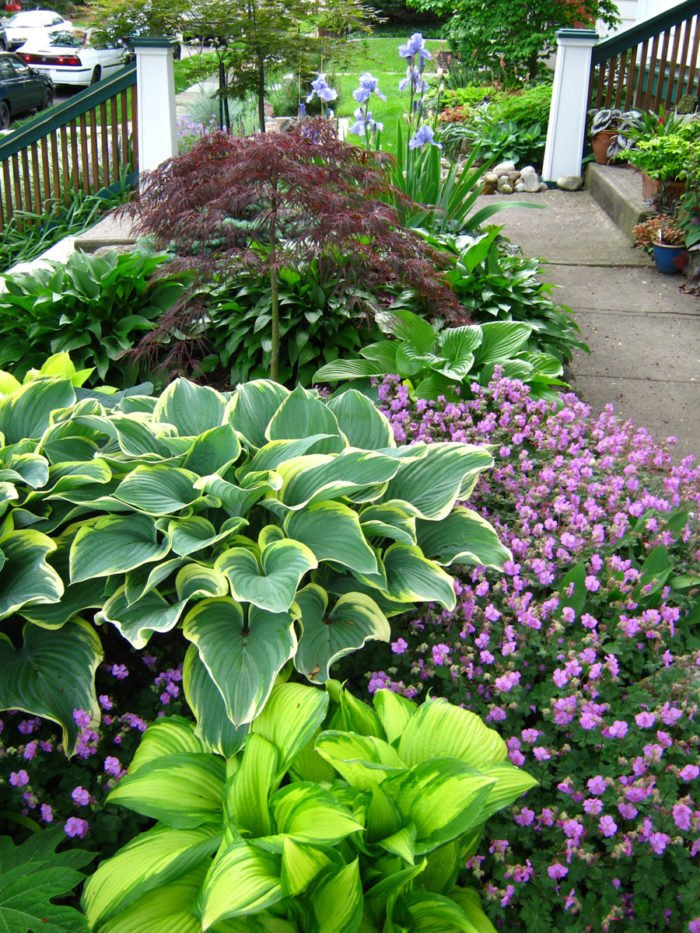 hosta flower bed with purple flowers