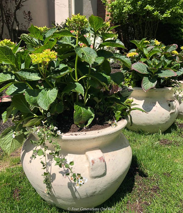 potted hydrangea bush with german ivy and white bacopa