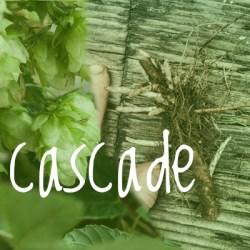 Cascade Hop 2018 Rhizome off cuts
