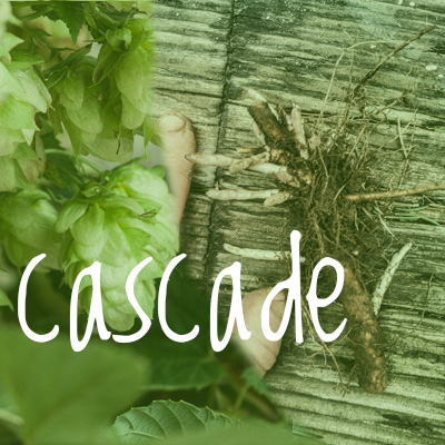 Cascade Hop 2018 Rhizome off cuts