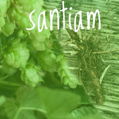 Santiam Hop 2018 Rhizome