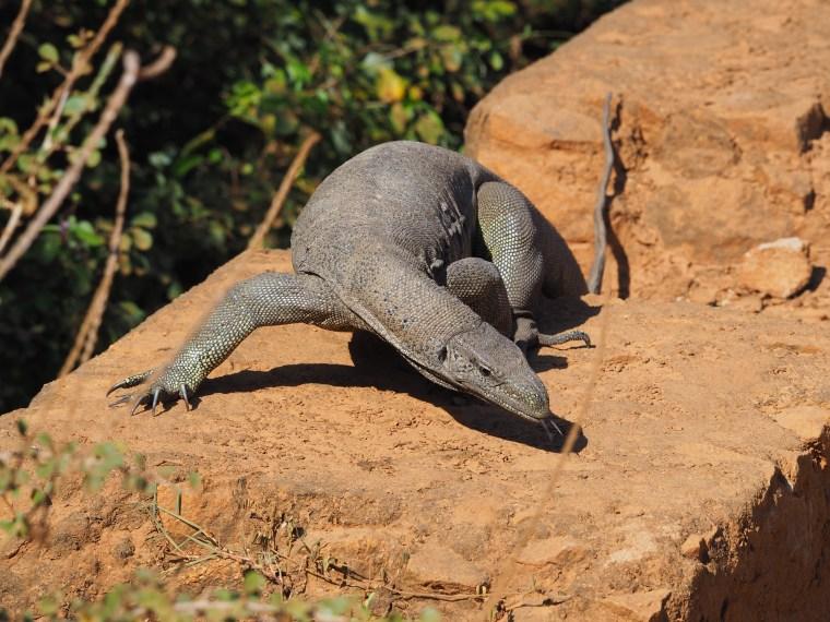Lizard at yada