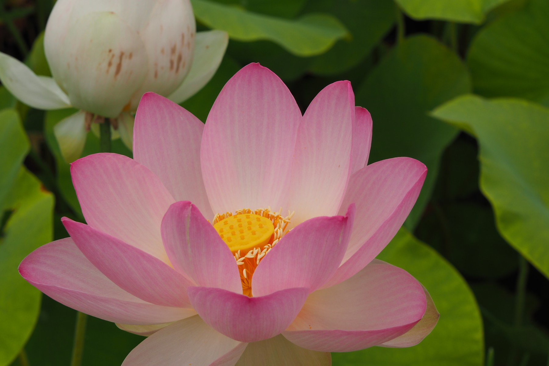 Lotus at Plum Village