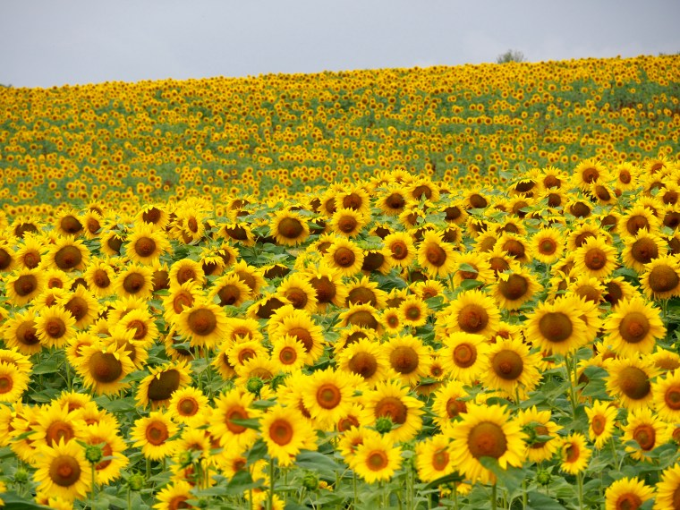 Sunflowers in the Dordogne, France