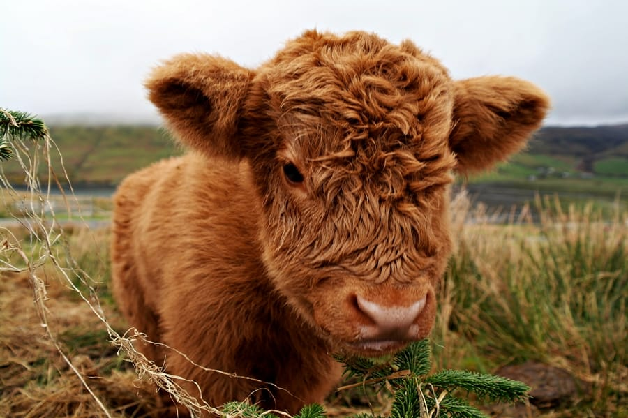 Cute Highland Cow Calf Weekly Hump Day Photo