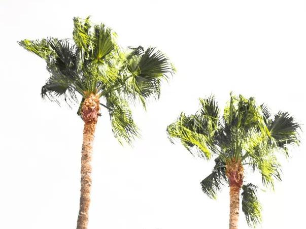 palmtreeWhite