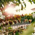 ripe coffee cherries guatemalan coffee farm
