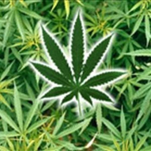 marijuana _-3880236783396764402