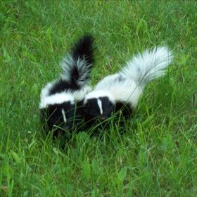 Skunks_-3953363303651783581