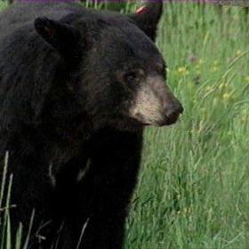 Black Bear_8353661983444976331