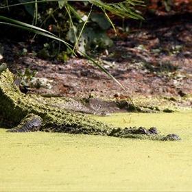 Alligator_-2905681004552564842
