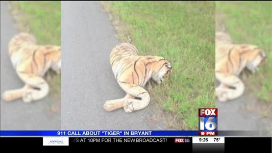 Woman Calls 911 Saying she Found a Dead _Tiger_ on the Road_-3047454927818896335