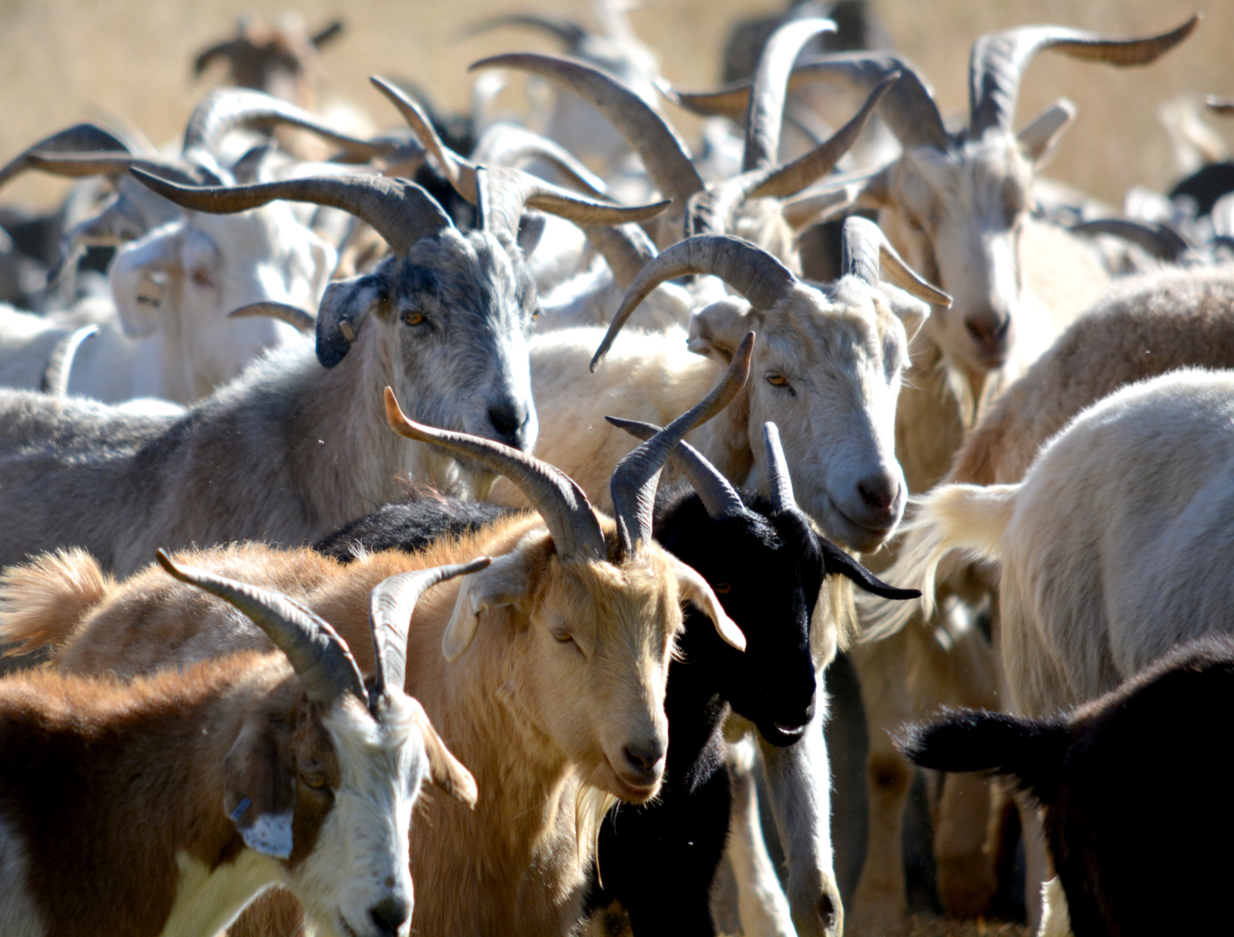 These goats will arrive at Bear Creek Park on Sunday. _ Photo courtesy El Paso County_194159