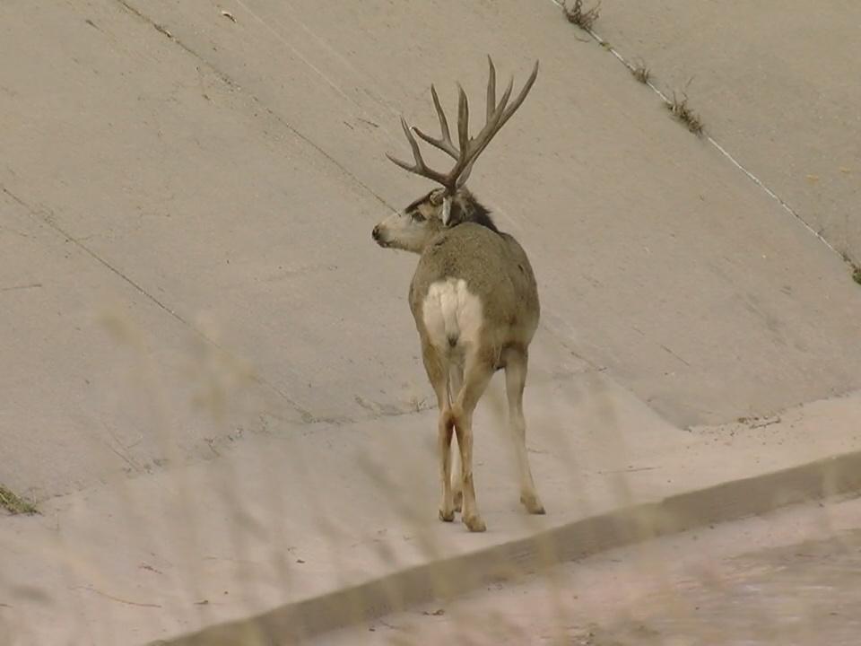 Deer Colorado Springs