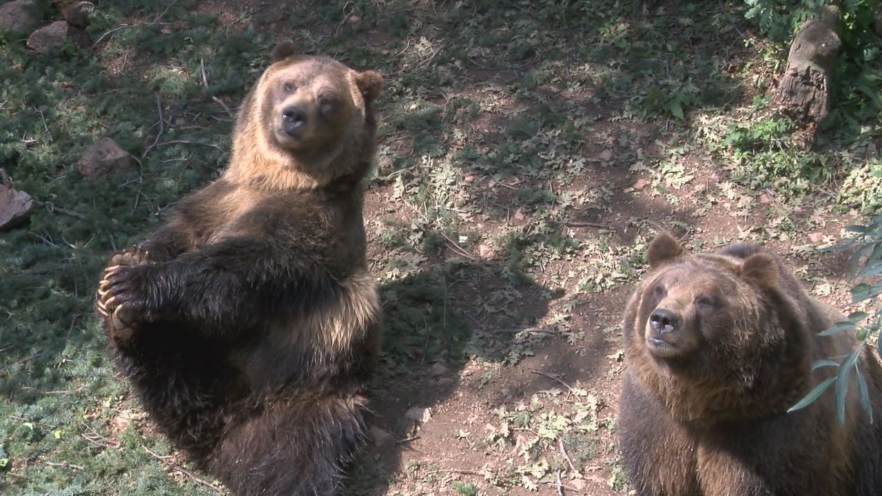 Grizzly Bears, Emmett and Digger, at Cheyenne Mountain Zoo