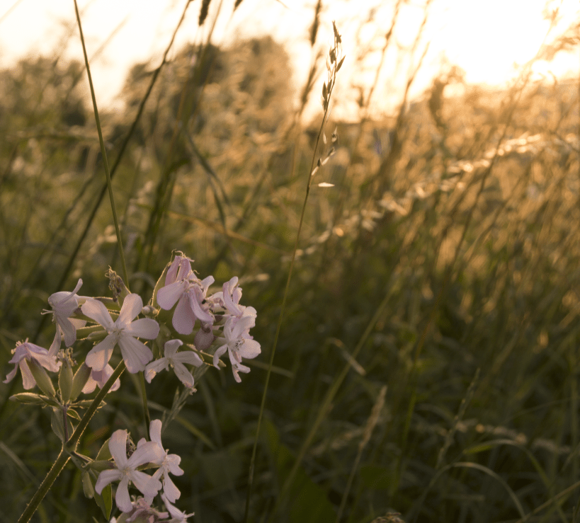 Sunset Photography Flowers Field Meadows Gold