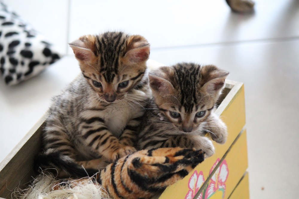Bengal Kitten in the Box