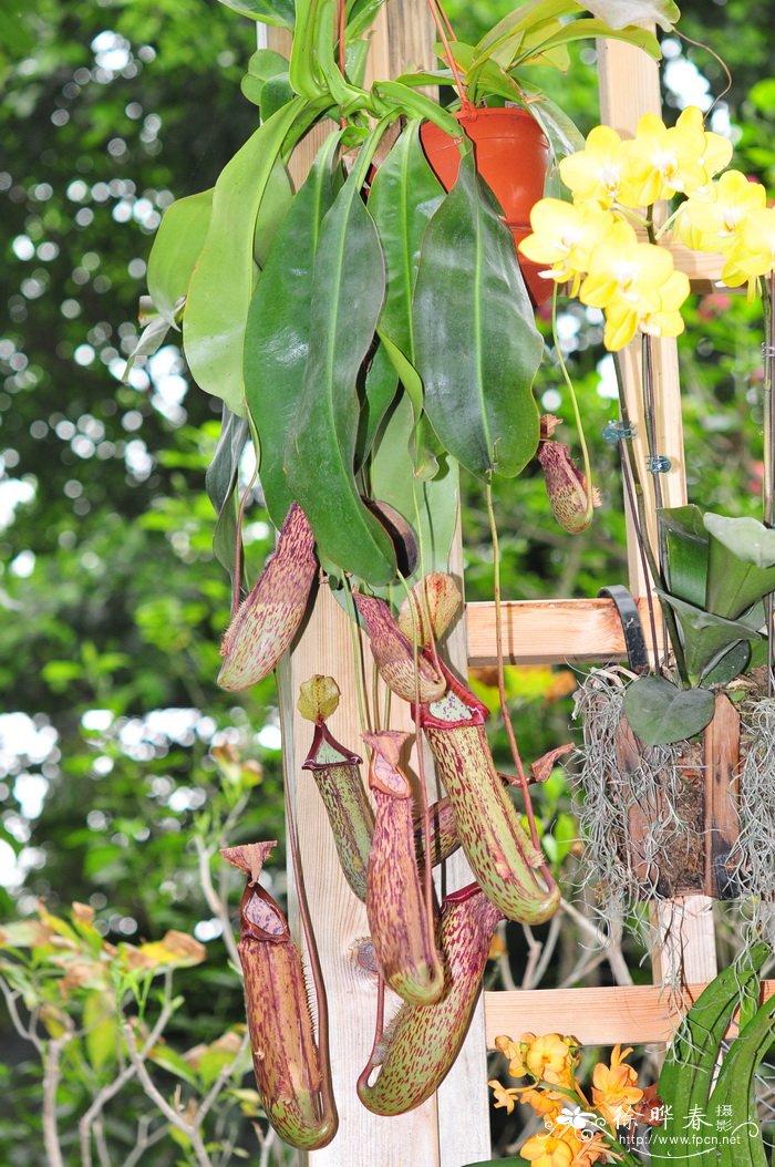 大猪笼草nepenthes Miranda 花卉图片网
