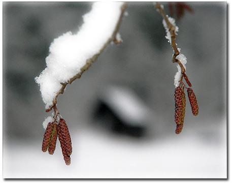 alder_snow.jpg