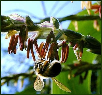 Honeybee in the garden corn, Goose Creek 2003