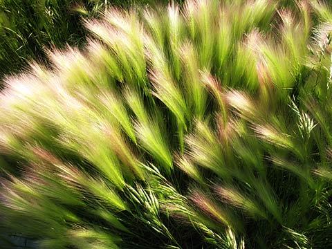 Foxtail Barley, Rapid City SD