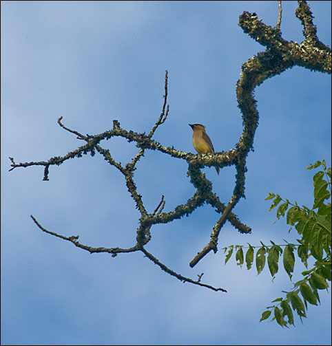 Cedar Waxwing in Walnut, Waiting