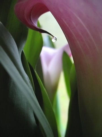 An O'keefe-ish view of the Mother's Day Calla from Holli