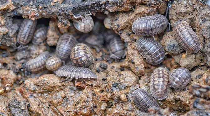 A Pill Bug By Any Other Name