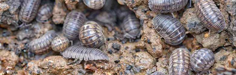 pill bug sow bug roly-poly