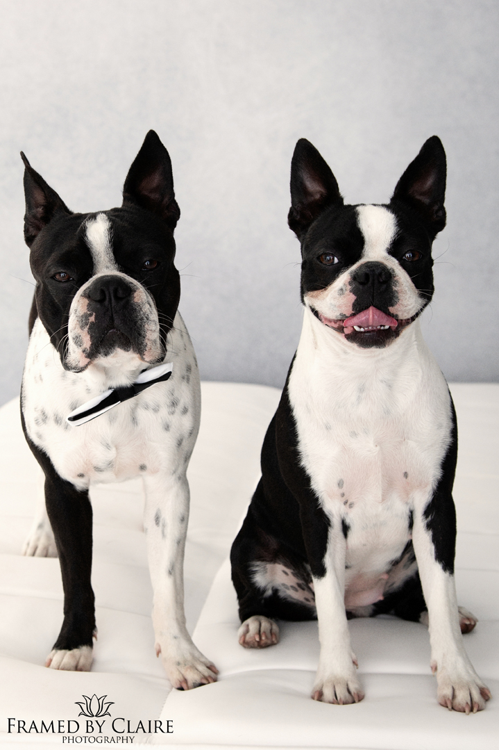 Boston Terrier Couple Portraits