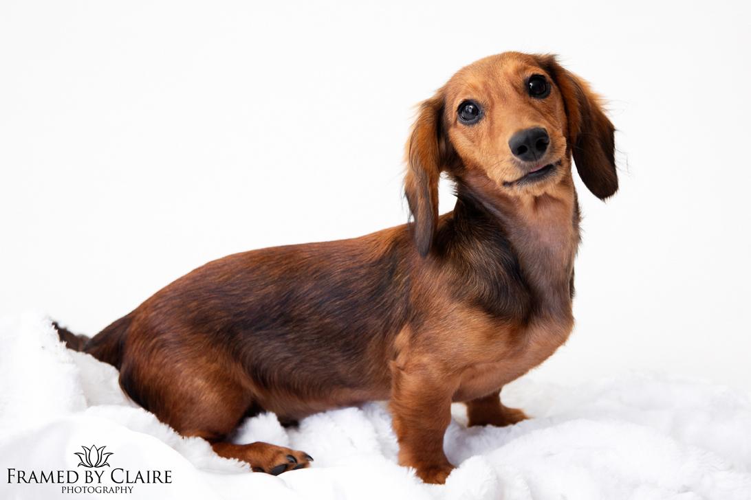 Dachshund Dog Pet Portrait studio photography
