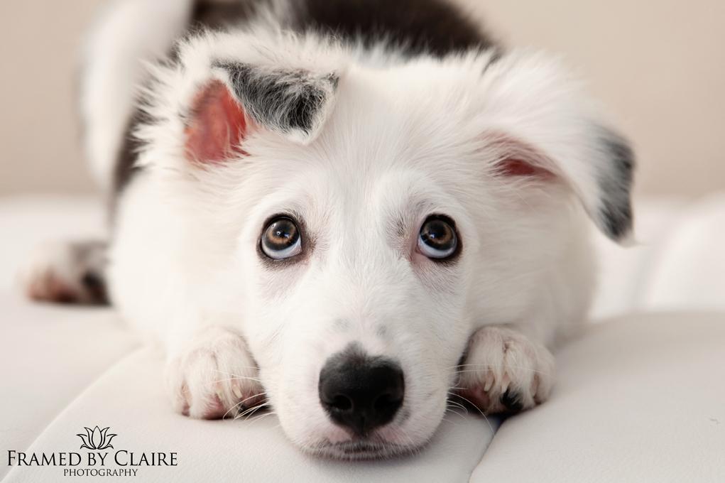 border collie puppy pet studio portraits
