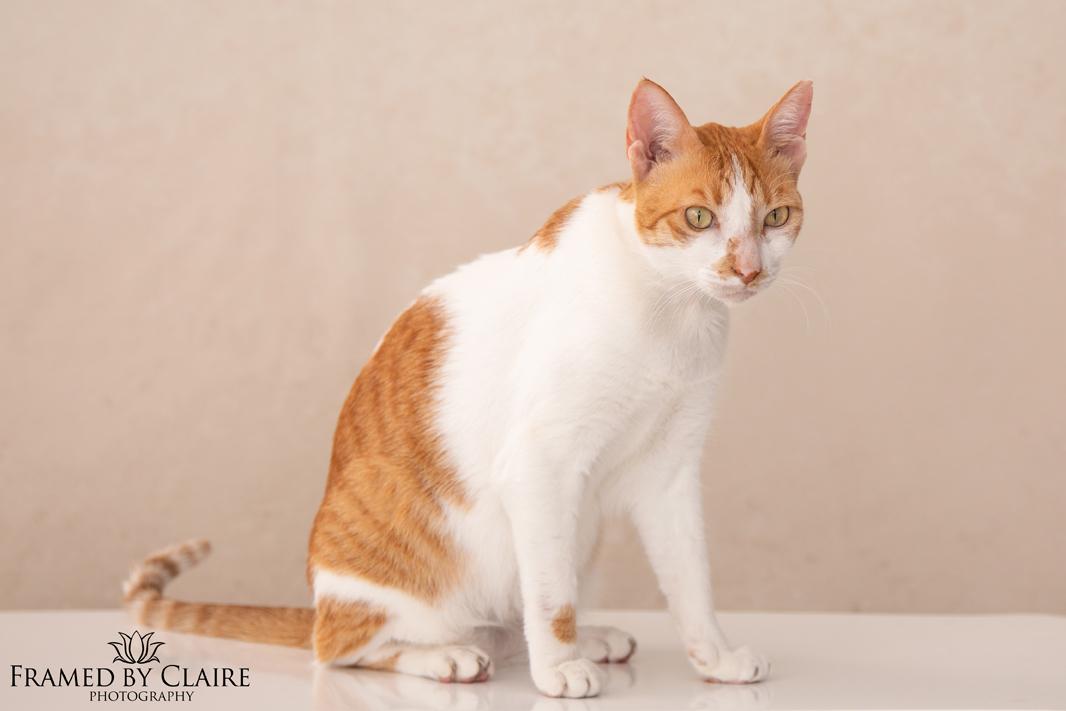 arabian mau cat portrait studio photography