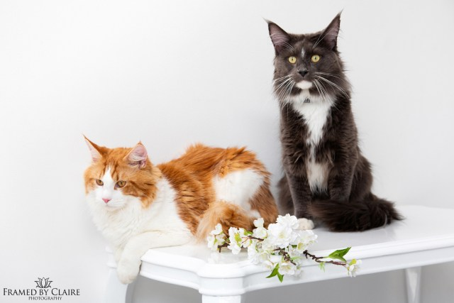 Maine Coon cat studio photography pet portrait