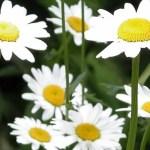 7 daisies