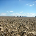 Cereal crops fields in France