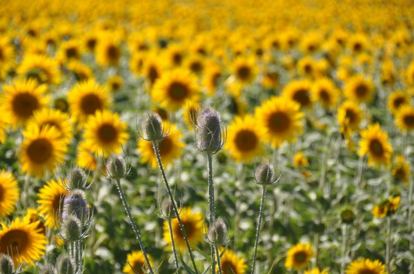 Thistles and Sunflowers