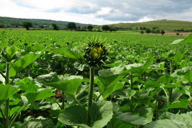 sunflowers-20