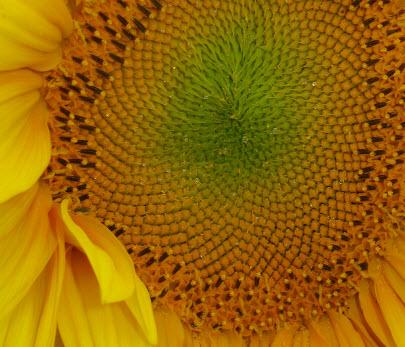 sunflowers-24