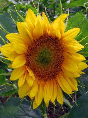sunflowers-26