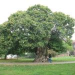 albero_castagno_castanea_sativa