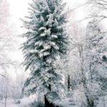 albero_pino_russo
