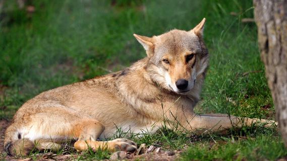 Un loup, dans le Gévaudan (Lozère), le 11 juillet 2012.