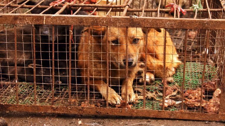 Des chiens en cage attendent d'être vendus à Guiyang (Chine), le 21 décembre 2012.