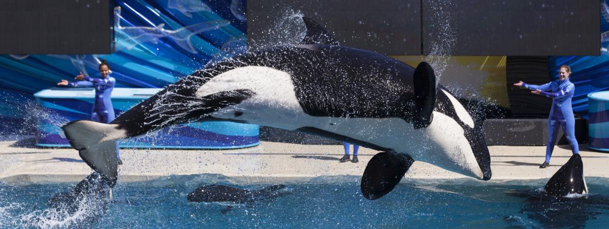 Un orque du SeaWorld de San Diego (Etats-Unis), le 19 mars 2014.