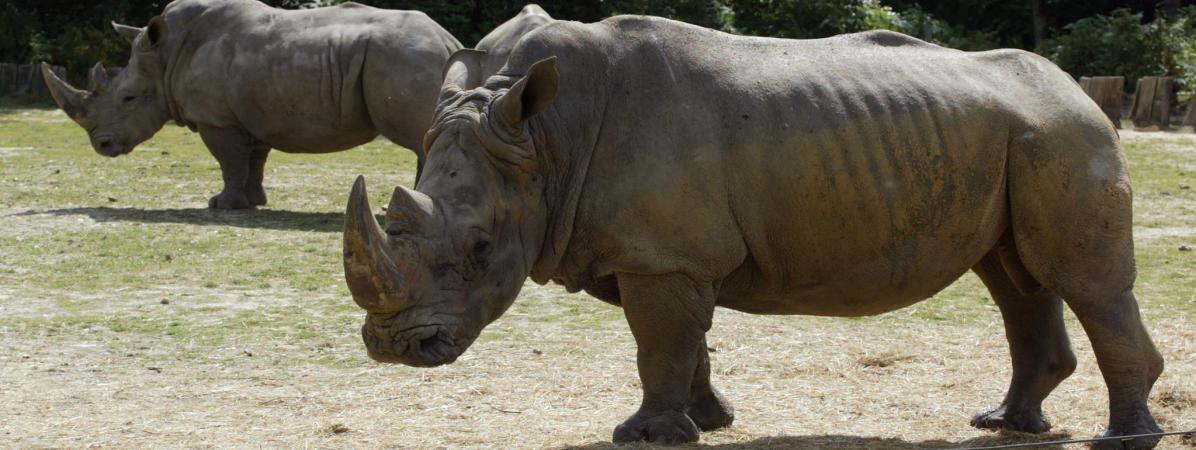 Deux rhinocéros se promènent dans le parc animalier de Thoiry (Yvelines), le 1er août 2002.