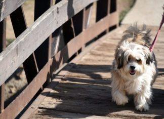 shaggy dog walking