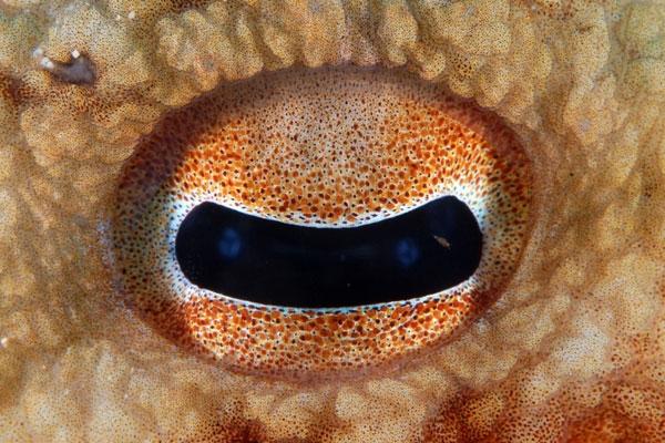oeil du poulpe