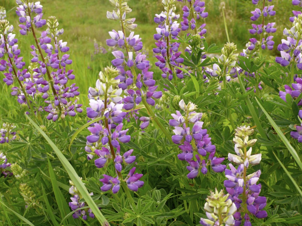 wild lupine in bloom