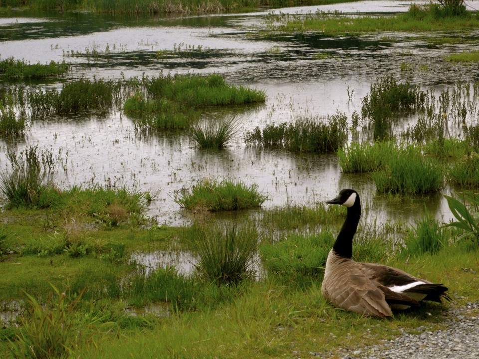 Canadian goose sits near the path and hisses at us